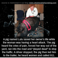 "Pigly: source Is mentioned in our blog: www.unbellevablefactsblog.com  A pig named Lulu saved her owner's life while  the woman was having a heart attack. The pig  heard the cries of pain, forced her way out of the  yard, ran into the road and ""played dead"" to stop  the traffic. A driver stopped, the pig then led him  to the trailer, he heard women and called 911"