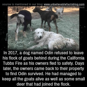 awesomacious:  The Goodest Boye: source is mentioned in our blog: www.unbellevablefactsblog.com  aveebook  In 2017, a dog named Odin refused to leave  his flock of goats behind during the California  Tubbs Fire as his owners fled to safety. Days  later, the owners came back to their property  to find Odin survived. He had managed to  keep all the goats alive as well as some small  deer that had joined the flock. awesomacious:  The Goodest Boye
