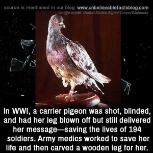 Hero pigeon!: source is mentioned in our blog: www.unbellevablefactsblog.com  Image credit: United States Signal Corps/Wikipedia  In WWl, a carrier pigeon was shot, blinded,  and had her leg blown off but still delivered  her message-saving the lives of 194  soldiers. Army medics worked to save her  life and then carved a wooden leg for her. Hero pigeon!