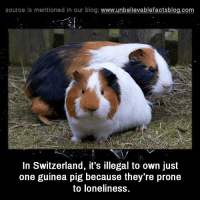 Pigly: source Is mentioned in our blog: www.unbellevablefactsblog.com  In Switzerland, it's illegal to own just  one guinea pig because they're prone  to loneliness