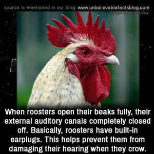Memes, Blog, and Helps: source is mentioned in our blog: www.unbellevablefactsblog.com  redit: Pixabay  When roosters open their beaks fully, their  external auditory canals completely closed  off. Basically, roosters have built-in  earplugs. This helps prevent them fronm  damaging their hearing when they crow. Interesting!