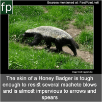 Memes, Wikipedia, and youtube.com: Sources mentioned at: FactPoint.net/  fp  Image Credit: spydersden  The skin of a Honey Badger is tough  enough to resist several machete blows  and is almost impervious to arrows an  spears Subscribe to our YouTube channel: youtube.com-FactPoint check Source at : FactPoint.net- Or check this link: https:-en.wikipedia.org-wiki-Honey_badger