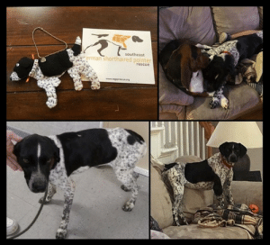 "Family, Love, and Memes: southeast  erman shorthaired pointer  rescuc Rocky received his Dog Doll commemorating his adoption. From his Mom Heather: ""Thank you so much for the dog doll and to Catherine for making it. It made my day. Rocky is fitting in nicely. And we love him so much.""  We're so happy for Rocky and his family!  If you would like a custom Dog Doll in the likeness of your GSP, Catherine has offered to make some (for a limited time) for a $30 donation to SEGSP. To order go to: https://www.segsprescue.org/dog-dolls.html"