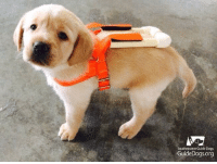 Guide dog puppy in training...: Southeastern Guide Dogs  GuideDogs.org Guide dog puppy in training...
