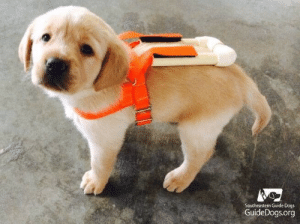 the-awesome-stuff:  Guide dog puppy in training wearing his specially made puppy harness to prepare him for his big boy harnessthe-awesome-stuff.tumblr.com source: http://feedproxy.google.com/~r/ImgurGallery/~3/HYK-vKRG4qM/A8eQsll: Southeastern Guide Dogs  GuideDogs.org the-awesome-stuff:  Guide dog puppy in training wearing his specially made puppy harness to prepare him for his big boy harnessthe-awesome-stuff.tumblr.com source: http://feedproxy.google.com/~r/ImgurGallery/~3/HYK-vKRG4qM/A8eQsll