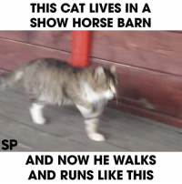 This is so cute! What a beautiful show horse-cat! lol: SP  THIS CAT LIVES IN A  SHOW HORSE BARN  AND NOW HE WALKS  AND RUNS LIKE THIS This is so cute! What a beautiful show horse-cat! lol