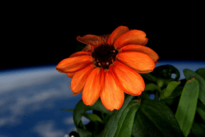 space-pics:  A zinnia growing in the cupola of the International Space Station: space-pics:  A zinnia growing in the cupola of the International Space Station