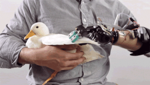 Fucking, Tumblr, and Animal: sphallolaila: exeunt-pursued-by-a-bear:  deusex:    Check out this robotic hand which can touch and feel, improving perception and reflexes for its user. [ Δ ]   This Robot Hand Will Allow You To Bother An Entire Duck   The only appropriate animal testing: their fucking patience
