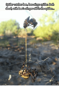 Spider catches bee bee stings spider Both  dead, with bees stingerstillinthespider  COM