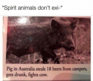 "Animals, Drunk, and Memes: ""Spirit animals don't exi-""  Pig in Australia steals 18 beers from campers  gets drunk, fights cow. 😆"