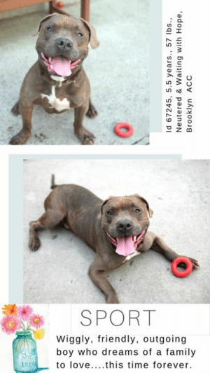 Being Alone, Animals, and Apparently: SPORT  Wiggly, friendly, outgoing  boy who dreams of a family  Bl00  IDEAL  to love....this time forever.  Id 67245, 5.5 years., 57 lbs.,  Neutered & Waiting with Hope,  Brooklyn ACC INTAKE DATE – 6/26/2019  SPORT is understandably anxious at the Brooklyn Center.  You see, he's been there before, and he thought when he walked out the door back in January of 2019 with his new family, it would be the LAST time he ever had to wake up in the middle of the night, alone in the dark, listening to the other dogs around him crying for their parents, broken hearted just like he was.  And now he is back.  And the nightmare begins again.   He came through the door just as wiggly as the first time, soft and happy and easy and relaxed with the staff, but as the days have ticked by, and as he has sat in his small cramped kennel, he is getting worried that no one will ever love him again, and that his dream of a family will not come true.  He goes on walks and plays tug of war with the leash.  But unlike the playful game of tug he played with his parents, he wrestles with the leash to try to get out his frustration.  So many of us at MLD have had similar dogs, and once out of the shelter, the leash biting dissipates into the air like the morning mist in sunlight.  But it takes patience and an experienced foster or adopter who will give this sweet boy the time he needs to decompress from his ordeal.  He needs a quiet, structured home, where he will feel safe and loved, and where perhaps, just once in his life, Sport will be loved for all the gifts he brings to the table – his sweetness, his wiggly and friendly outgoing nature, and his kind heart.  Can you help this boy out?  Hurry before it's too late and he hits the dreaded list to die.  You can Message our page or email us at MustLoveDogsNYC@gmail.com to foster or adopt Sport.   Show him once and for all that patience pays off, and dreams can come true…  SPORT, ID# 67245, 5.5 yrs old, 57 lbs, Neutered Male Brooklyn ACC, Large Mixed Breed, Chocolate / White    Surrender Reason:  Found Stray  Shelter Assessment Rating: NEW HOPE ONLY  Medical Behavior Rating:   INTAKE PROFILE - BASIC INFORMATION: Sport is a 5 year, 5 month old neutered male that was found as a stray last night by ACC. When a stranger approaches Sport, he has a soft and wiggly body. Finder was able to take off his collar without any issues. Sport was found with a large mixed breed male dog and a large mixed breed female dog and was relaxed and respectful around both animals.   INTAKE NOTES – DATE OF INTAKE, 26-Jun-2019: Behavior during intake: Sport had a soft and wiggly body during intake. He approached counselor right away and counselor was able to scan for a microchip, collar and take a picture without any issues.  BEHAVIOR NOTES:  Stray, no known history.  SHELTER ASSESSMENT SUMMARIES - Date of assessment: 27-Jun-2019 Because Sport has been observed to escalate rapidly to threats of aggression with minimal to no prior warning signals, we feel he is not an appropriate candidate for an assessment at this time.  PLAYGROUP NOTES - DOG TO DOG SUMMARIES:  Sport was surrendered as a stray along with two large mixed breed dogs. Limited information was provided so his past behavior around other dogs is unknown.  6/26: When off leash at the Care Center, Sport is introduced to a novel female dog. He is anxious and paces the pens before noticing the female at the gate. He is sexually motivated as he greets the female and fixates on her genitals. He is slow to listen to handler interruptions and follows the female throughout the pens.  INTAKE BEHAVIOR: Date of intake: 27-Jun-2019 Summary: Soft, wiggly, allowed handling  MEDICAL BEHAVIOR: Date of initial: 27-Jun-2019 Summary:  See below  IN SHELTER OBSERVATIONS: 6/30: Sport was being taken for a walk when he began to jump up, thrash, and bite at the handler's rope. The handler immediately turned around and returned to the parking lot and closed the gate to place it between himself and Sport. Sport at this time continued to bite and pull on the rope without releasing. The handler called for assistance and another handler came outside. The gate was opened and Sport continues to bite and readjust the rope, but briefly let go when he saw the other handlers approaching. Another handler placed a second rope on Sport, and his behavior began to escalate. He continued to jump up, alligator roll, and bite at the rope. The first handler's rope was caught under his leg causing Sport to alternate between biting both ropes.   6/27/2019 Tense and whale eyed upon entering medical room, then appeared energetic and jumping up. When a second handler approached, Sport immediately escalated to jumping up and snapping multiple times towards her. Sport was observed to go from loose/wagging to lunging/snapping during this time.  BEHAVIOR DETERMINATION: New Hope Only Behavior Asilomar TM - Treatable-Manageable  Recommendations:  No children (under 13), Place with a New Hope partner. Recommendations comments:  No children: Due to the Sport's potential to rapidly to tip into aggression, we feel he may be best set up to succeed in an adult only home environment. Place with a New Hope partner: Sport has been observed to display some social behavior in the care center, however, he has been observed to rapidly escalate to lunging and snapping at a handler with minimal provocation; in combination with this behavior, he was also reported to display no prior warning signals. For these reasons, we feel as though Sport may be best set up to succeed if placed with an experienced rescue partner. Force-free, reward based training only is advised when introducing or exposing Sport to new and unfamiliar situations; guidance from a veterinary behaviorist or professional trainer is highly advised.  Potential challenges:  Fearful/potential for defensive aggression Potential challenges comments:  Sport has been observed to lunge and snap towards handlers. Please see handout for Fearful and Defensive Aggression.  MEDICAL EXAM NOTES   27-Jun-2019  DVM Intake Exam.  Estimated age: 5 years.  Microchip noted on Intake? Positive.  History: stray, found tied up outside. Previously here 12/31/19-APH. 1/4/19-neutered.  Subjective: BARH.  Observed Behavior -tense, hard tail wag, whale eyes and hard stare when entering room. Very energetic and jumping around the room. Jumped up and tried to bite leash and handler multiple times without clear warning signs. Every time he was approached from the front he would go from tail wagging to lunging and attempting to bite. No growling or barking. Unable to keep muzzle on him, will paw at face and pull muzzle off.  Evidence of Cruelty seen – no.  Evidence of Trauma seen – no.  Objective:  P = wnl, R = wnl, BCS = 5/9.  EENT: Eyes clear, no nasal or ocular discharge noted.  H/L: NSR, NMA, CRT < 2, Lungs clear, eupneic.  ABD: Non painful, no masses palpated.  U/G: MN.  MSI: Ambulatory x 4, skin free of parasites, no masses noted, healthy hair coat.  CNS: Mentation appropriate - no signs of neurologic abnormalities.  Assessment:  Apparently healthy.  Prognosis: Excellent.  Plan: CTM while at BACC.  Start on trazodone 100mg PO BID for shelter anxiety.  SURGERY:  neutered  *** TO FOSTER OR ADOPT ***   SPORT IS RATED NEW HOPE RESCUE ONLY.  To foster or adopt him you must fill out applications with New Hope Partners.  You cannot direct adopt him at the shelter.  Please Message our page or email us at MustLoveDogsNYC@gmail.com for assistance.      If you would like to adopt a NYC ACC dog, and can get to the shelter in person to complete the adoption process, you can contact the shelter directly. We have provided the Brooklyn, Staten Island and Manhattan information below. Adoption hours at these facilities is Noon – 8:00 p.m. (6:30 on weekends)  If you CANNOT get to the shelter in person and you want to FOSTER OR ADOPT a NYC ACC Dog, you can PRIVATE MESSAGE our Must Love Dogs page for assistance. PLEASE NOTE: You MUST live in NY, NJ, PA, CT, RI, DE, MD, MA, NH, VT, ME or Northern VA. You will need to fill out applications with a New Hope Rescue Partner to foster or adopt a NYC ACC dog. Transport is available if you live within the prescribed range of states.  Shelter contact information: Phone number (212) 788-4000 Email adopt@nycacc.org  Shelter Addresses: Brooklyn Shelter: 2336 Linden Boulevard Brooklyn, NY 11208 Manhattan Shelter: 326 East 110 St. New York, NY 10029 Staten Island Shelter: 3139 Veterans Road West Staten Island, NY 10309  *** NEW NYC ACC RATING SYSTEM ***  Level 1 Dogs with Level 1 determinations are suitable for the majority of homes. These dogs are not displaying concerning behaviors in shelter, and the owner surrender profile (where available) is positive.   Level 2  Dogs with Level 2 determinations will be suitable for adopters with some previous dog experience. They will have displayed behavior in the shelter (or have owner reported behavior) that requires some training, or is simply not suitable for an adopter with minimal experience.   Level 3 Dogs with Level 3 determinations will need to go to homes with experienced adopters, and the ACC strongly suggest that the adopter have prior experience with the challenges described and/or an understanding of the challenge and how to manage it safely in a home environment. In many cases, a trainer will be needed to manage and work on the behaviors safely in a home environment.