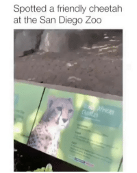 Funny, Instagram, and Meme: Spotted a friendly cheetah  at the San Diego Zoo @memezar was voted the 'Best meme account on instagram' 😂😂