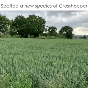 Animals, Dogs, and Puppies: Spotted a new species of Grasshopper  monkoop  G@gsp.river #dogs #doglovers #puppy #puppies #animals #animallovers #petslife #cutestanimals #animallove #animalslife #cuteanimals #animalsworld #animalsforever #animalsouls #petsforlife