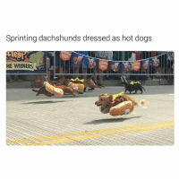 Dogs, Funny, and Ted: Sprinting dachshunds dressed as hot dogs  LUSA  HE WIENERS Last one 😂 Swipe for more ➡ (@hilarious.ted)