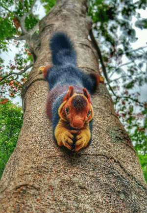 Squirrel found in kerala, India. (via): Squirrel found in kerala, India. (via)