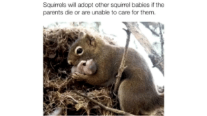 this. is adorable: Squirrels will adopt other squirrel babies if the  parents die or are unable to care for them. this. is adorable