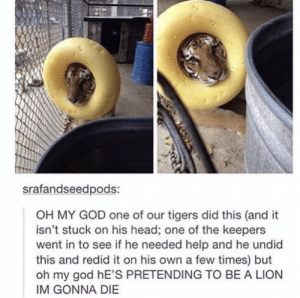 God, Head, and Oh My God: srafandseedpods:  OH MY GOD one of our tigers did this (and it  isn't stuck on his head; one of the keepers  went in to see if he needed help and he undid  this and redid it on his own a few times) but  oh my god hE'S PRETENDING TO BE A LION  IM GONNA DIE 🇳🇵🍢