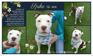 Animals, Apparently, and Butt: Srihe  Du 6025  Friendly and  adorable Spike may  look like a serious  chap but he has a sunny  personality-is easy to  handle on leash and happily  playful in the yard. Spike will  make the perfect playmate and  a wonderful partner for just  chilling out on the couch, too.  43 63 Manhattan  2 ys ld TO BE KILLED 6/29/19  *** A $500 stipend will be offered to the New Hope partner that pulls Spike 56025.***  Get ready to goof around with Spike~ Friendly and Adorable Spike Wants to Win Your Heart Over <3 ~ A volunteer writes: Spike is ready to smile! He may look like a serious chap when you first meet, but take the time to play, pet and get to know him and he'll be sunny side up in a jiffy. We had so much fun on our first date, leisurely strolling around the block while Spike sniffed every snowbank and tree, then joyfully playing with toys indoors. He's the best of both worlds, a consummate gentleman and easy to handle on leash and a happy, play-bowing loon off leash. For an active family looking for the perfect playmate, Spike definitely fits the bill, but he'd make a wonderful partner for just chilling out on the couch, too. Seemingly house trained and ready to come, sit and stay for treats, he's smart and eager to please. So if you're keen to teach, he'll be happy to learn. As open-hearted as he is with us humans, Spike can be very selective with his four-legged playmates, so a home where he'll be able to settle in as your only pet before any new introductions are made (one-on-one, no dog parks, please) would be best. Meet this handsome boy at our Manhattan Care Center today!  Another volunteer writes:  Sweet Spike loves to play! ACC long-timer and fetch-n-snuggle superstar Spike is my favorite boyfriend at ACC and how he's still not been scooped up by a new family is a mystery to me and everyone else who loves him. Spike arrived at the shelter on Feb 28 and aside from a very short adoption from which he was returned for playing too bo