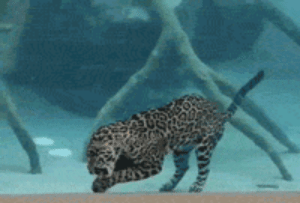Tumblr, Blog, and How To: srsfunny:Jaguar Forgets How To Cat, Eats His Meal Underwater