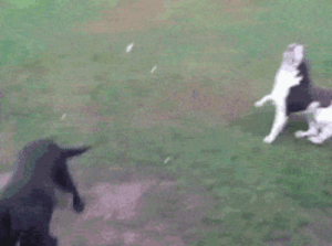 srsfunny:  Just A Blind Dog Playing Fetch: srsfunny:  Just A Blind Dog Playing Fetch