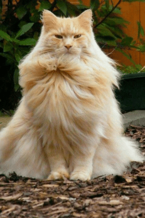 srsfunny:This Magnificent Cat Just Went Super Saiyan: srsfunny:This Magnificent Cat Just Went Super Saiyan
