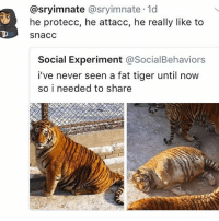 Funny, Tiger, and Fat: @sryimnate @sryimnate 1d  he protecc, he attacc, he really like to  snacc  Ck  Social Experiment @SocialBehaviors  i've never seen a fat tiger until now  so i needed to share