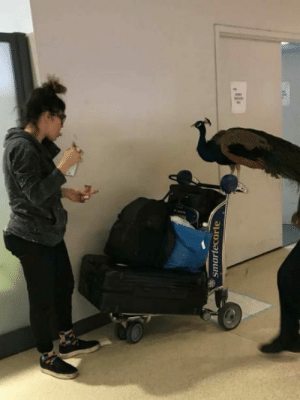 Peacock, Board, and Her: ssmartecarte Woman Tried To Board A Plane With Her Emotional-Support Peacock But The Airline Denied it