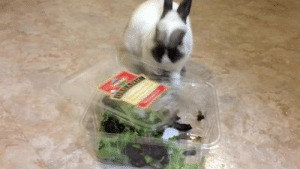 stargvsm:  natureanimalsblog:  onefineflip: foeyedcurls:  Did I SAY I was finished with the baby greens?!?!??!  such an aggressive tiny animal   @stargvsm   Always reblog the little salad beast : stargvsm:  natureanimalsblog:  onefineflip: foeyedcurls:  Did I SAY I was finished with the baby greens?!?!??!  such an aggressive tiny animal   @stargvsm   Always reblog the little salad beast