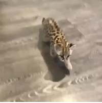 starofthemourning:  nabyss: relentlesslygayy:  lilanth:   shrapnel-to-the-heart:  sheriffpanda:  giaguscross:   babyanimalgifs: oh my god  You look me in the eye and tell me this isn't important   That jaguar is so tall compared to the ocelot. So cute!   @oreo-pie   I need to know if these cats are being sold into the the pet trade or not   Nope! These little kitties are from black jaguar white tiger foundation, a big cat rescue and sanctuary, and the man in the video is Eduardo Serio. He regularly gets orphaned cubs and cubs rescued from the pet trade, when the zoos don't have enough room. He doesn't normally socialize with them like this but the margay and jaguar cubs here had already imprinted on humans and can no longer survive in the wild, so he's been raising them  OHHHHHH CUTIES…. @luxroyalty: starofthemourning:  nabyss: relentlesslygayy:  lilanth:   shrapnel-to-the-heart:  sheriffpanda:  giaguscross:   babyanimalgifs: oh my god  You look me in the eye and tell me this isn't important   That jaguar is so tall compared to the ocelot. So cute!   @oreo-pie   I need to know if these cats are being sold into the the pet trade or not   Nope! These little kitties are from black jaguar white tiger foundation, a big cat rescue and sanctuary, and the man in the video is Eduardo Serio. He regularly gets orphaned cubs and cubs rescued from the pet trade, when the zoos don't have enough room. He doesn't normally socialize with them like this but the margay and jaguar cubs here had already imprinted on humans and can no longer survive in the wild, so he's been raising them  OHHHHHH CUTIES…. @luxroyalty
