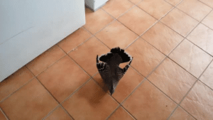 """starship-nine:  pantherwhales-spout:  izziesworldofizzie:  Every time I go downstairs to the laundry room, this pigeon tries to seduce me.  """"we have incompatible genitals"""" is now my favorite excuse.   Is this Hatoful Boyfriend: starship-nine:  pantherwhales-spout:  izziesworldofizzie:  Every time I go downstairs to the laundry room, this pigeon tries to seduce me.  """"we have incompatible genitals"""" is now my favorite excuse.   Is this Hatoful Boyfriend"""