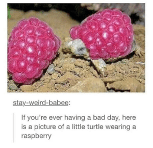 Bad, Bad Day, and Weird: stay-weird-babee:  If you're ever having a bad day, here  is a picture of a little turtle wearing  raspberry Someone put raspberries on baby tortoises and it made my day