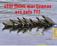 "After a group of atheists dropped ""The Roach"" into my local pond, the turtles have begun to fornicate before marriage - in GROUPS !   This is SODOM and GOMORRAH in my very own Isleworth community. Please pray. - Agnes x: stiffithink marijuanas  are safe After a group of atheists dropped ""The Roach"" into my local pond, the turtles have begun to fornicate before marriage - in GROUPS !   This is SODOM and GOMORRAH in my very own Isleworth community. Please pray. - Agnes x"
