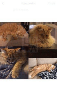 """****STILL MISSING 13/9/17****  **STILL MISSING 4/9/17 - Chris  - 0403469505**  ***UPDATE -6/9  Possible sighting of """"Luna"""" near Valhalla Dr & Atlantis Dr, opposite Anytime Fitness. The Golden Way, Golden Grv ***  ***UPDATE - STILL MISSING 20/8.  Reward for the return of Luna.  No questions asked.  Refers to mobile  0403 469 505***   ***STILL MISSING 14/8/17***  ***SITLL MISSING - 13/8/17***  ***Luna is still missing - have you seen her?***  LOST CAT Wynn Vale #Adelaide 28/7/2017 """"Luna"""" Luna is a 3 yr old desexed female. She is dark ginger with a little white around her mouth and under belly.  She is very fluffy with her winter coat, does not have her collar on. She has been missing since 20/7 from Wynn Vale near Cobbler Creek.   She is mostly an indoor cat & this is so out of character for her.  We miss her so much & we are worried for her.  Chris: 0403 469 505 or Jess 0422 170 690 https://www.facebook.com/chris.bauer.31392410: ****STILL MISSING 13/9/17****  **STILL MISSING 4/9/17 - Chris  - 0403469505**  ***UPDATE -6/9  Possible sighting of """"Luna"""" near Valhalla Dr & Atlantis Dr, opposite Anytime Fitness. The Golden Way, Golden Grv ***  ***UPDATE - STILL MISSING 20/8.  Reward for the return of Luna.  No questions asked.  Refers to mobile  0403 469 505***   ***STILL MISSING 14/8/17***  ***SITLL MISSING - 13/8/17***  ***Luna is still missing - have you seen her?***  LOST CAT Wynn Vale #Adelaide 28/7/2017 """"Luna"""" Luna is a 3 yr old desexed female. She is dark ginger with a little white around her mouth and under belly.  She is very fluffy with her winter coat, does not have her collar on. She has been missing since 20/7 from Wynn Vale near Cobbler Creek.   She is mostly an indoor cat & this is so out of character for her.  We miss her so much & we are worried for her.  Chris: 0403 469 505 or Jess 0422 170 690 https://www.facebook.com/chris.bauer.31392410"""
