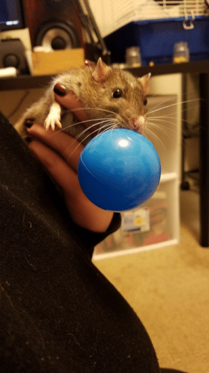 stinkyratties:  Mom really, just let me have the ball, I swear I have plans that dont involve chewing it up entirely… promise.: stinkyratties:  Mom really, just let me have the ball, I swear I have plans that dont involve chewing it up entirely… promise.