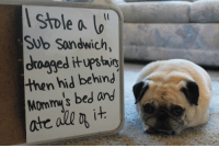 Pug shaming: stole a  Sub Sondwich,  drooged upstairs  then hid in  is bed and  Mommy  i  ate all ot Pug shaming