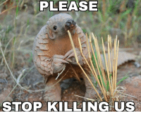 This baby pangolin is nervous to tell us something: STOP KILLING US This baby pangolin is nervous to tell us something
