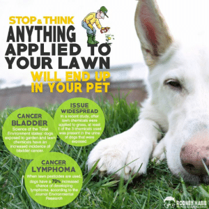 """STUDY FINDS HERBICIDES IN THE URINE OF PETS AFTER HOME LAWN CHEMICAL TREATMENT.   """"Considerable interest has been generated by a recently published study by PCOP scientists and key collaborators at Purdue University and the University of North Carolina.    The purpose of the study was to determine the extent to which lawn chemicals are taken into the body of dogs and eliminated in the urine.   This study was in follow-up to an earlier study that showed a significant association between lawn chemical exposure and increased bladder cancer risk in dogs.   Some of the important findings and conclusions are summarized below:  • Lawn chemical exposure was widespread in dogs. At least 1 of the 3 chemicals measured in the study was present in the urine of dogs in the majority of the 25 households after lawn chemicals were applied to the grass.  • 'Untreated' grass also contained lawn chemicals, presumably from drift from nearby treated areas.  At least 1 of the 3 chemicals was detected on the grass in 7 of 8 control households, as well as in many of the """"treated"""" households BEFORE the chemicals were applied.  • Half of the dogs living in 'untreated' control households had lawn chemicals in their urine.  • The condition of the grass affected how long the chemicals persisted on the surface of the grass where they would be taken up by dogs. Chemicals persist longer on dry brown grass.  Chemicals were detected on the grass at 48 hours after treatment in the household study."""" - Purdue University   WHAT'S EVEN WORSE:  """"Once contaminated, dogs can pass the chemicals on to their owners and to others in the household. The study only looked at dogs, but the researchers suspect that cats and other pets could also be affected.  'Dogs can pick up the chemicals on their paws and their fur,' Deborah Knapp, lead author of Purdue University's Department of Veterinary Clinical Sciences, explains. 'They can then track the chemicals inside the house, leaving chemicals on the floor or furniture"""