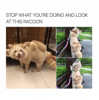 Memes, 🤖, and Looking: STOP WHAT YOURE DOING AND LOOK  AT THIS RACOON ❤️