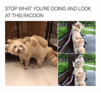 Racoon, Look, and Stop: STOP WHAT YOU'RE DOING AND LOOK  AT THIS RACOON