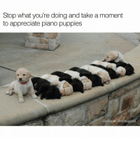 @menshumor is the best source of hilarious memes! 😂: Stop what you're doing and take a moment  to appreciate piano puppies  via reddit: @Hilltopchill @menshumor is the best source of hilarious memes! 😂