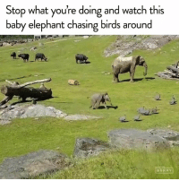 Memes, Birds, and Elephant: Stop what you're doing and watch this  baby elephant chasing birds around This is important.