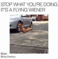 Memes, Tag Someone, and Powerful: STOP WHAT YOU'RE DOING  IT'S A FLYING WIENER  @bark  @roxy.thedoxy Tag someone short & powerful. dogspiration Original vid via @roxy.thedoxy
