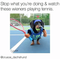 Memes, Tennis, and Watch: Stop what you're doing & watch  these wieners playing tennis.  Crusoe Oakley  SERVE 15  Crusoe  @crusoe dachshund The only sporting event I care about. @crusoe_dachshund