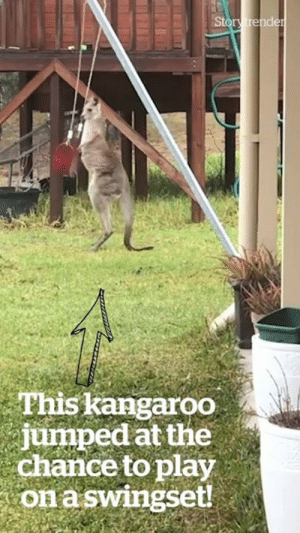 """I walked into my garden this morning to find a kangaroo playing on the swingset"" 😂😍: Story trender  This kangaroo  jumped at the  chance to play  on aswingset! ""I walked into my garden this morning to find a kangaroo playing on the swingset"" 😂😍"