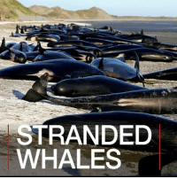 Memes, New Zealand, and Dune: STRANDED  WHALES 13 FEB: Authorities in New Zealand have said they will move the carcasses of hundreds of whales that have died in mass strandings. About 300 whales will be moved with a digger and buried in the sand dunes further up Farewell Spit, South Island, in an area which is not open to the public. Thursday's stranding was one of the country's worst. It is not clear why more than 400 pilot whales came ashore last week, but since then more have stranded themselves, including about 200 on Saturday. 📷: Reuters. Find out more: bbc.in-nzwhales Whales NewZealand FarewellSpit SouthIsland Whalestrandings Animals Nature Conservation BBCShorts BBCNews @BBCNews