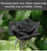 Memes, Black, and Blacked: Stunning black rose. Black roses exist  naturally only at Halfeti, Turkey.