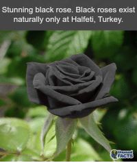 Facts, Memes, and Black: Stunning black rose. Black roses exist  naturally only at Halfeti, Turkey.  Unusual  FACTS