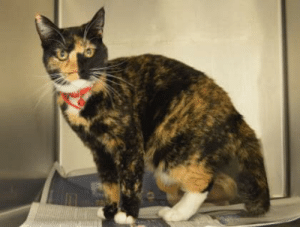 Stunning Calico Kitty Tal'Shiar ID #41294755 in Spanish Fork