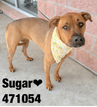 "Dogs, Food, and Memes: Sugar""  471054 Email Placement@sanantoniopetsalive.org if you are interested in Adopting, Fostering, or Rescuing!  Our shelter is open from 11AM-7PM Mon -Fri, 11AM-5PM Sat and Sun.  Urgent Pets are at Animal Care Services/151 Campus. SAPA! is Only in Bldg 1 GO TO SAPA BLDG 1 & bring the Pet's ID! Address: 4710 Hwy. 151 San Antonio, Texas 78227 (Next Door to the San Antonio Food Bank on 151 Access Road)  **All Safe Dogs can be found in our Safe Album!** ---------------------------------------------------------------------------------------------------------- **SHORT TERM FOSTERS ARE NEEDED TO SAVE LIVES- email placement@sanantoniopetsalive.org if you are interested in being a temporary foster!!**"