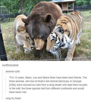 "awesomacious:  Brother from another species!: sunf10werpetal:  awwww-cute  ""For 13 years, Baloo, Leo and Shere Khan have been best friends. The  three animals, who live at Noah's Ark Animal Sanctuary in Georgia  [USA), were rescued as cubs from a drug dealer who kept them as pets.  In the wild, the three species hail from different continents and would  have never met.  omg my heart awesomacious:  Brother from another species!"